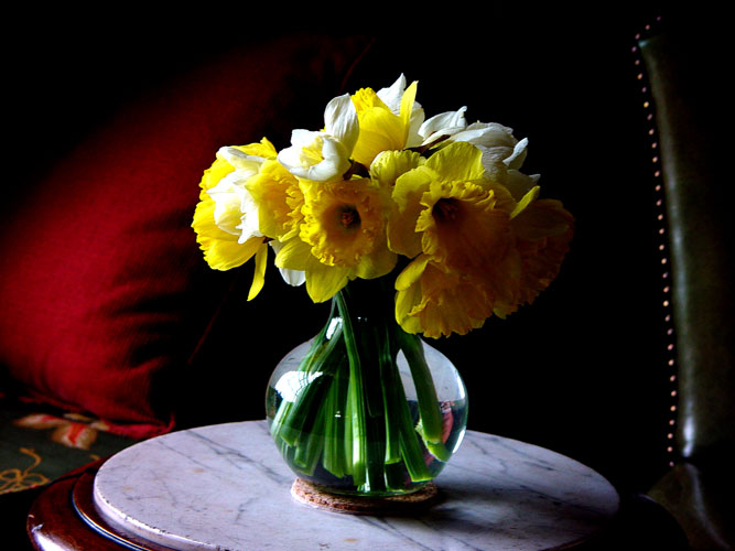 Lovely flowers of Daffodils at Juddmonte Farms