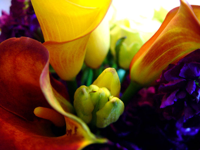 Flame calla lilies