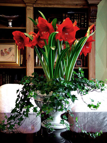 Christmas Arrangement of stunning Amaryllis and ivy